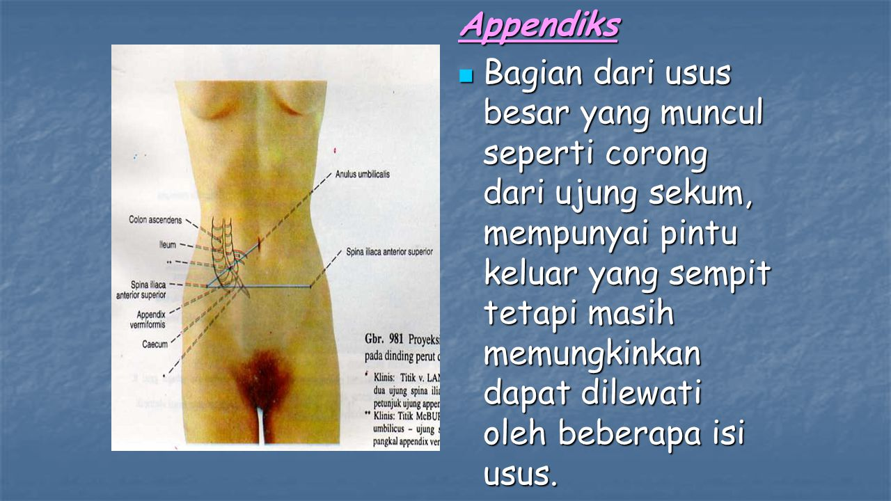 Appendiks Bagian dari usus besar yang muncul seperti corong dari ujung sekum, mempunyai pintu keluar yang sempit tetapi masih memungkinkan dapat dilewati oleh beberapa isi usus.