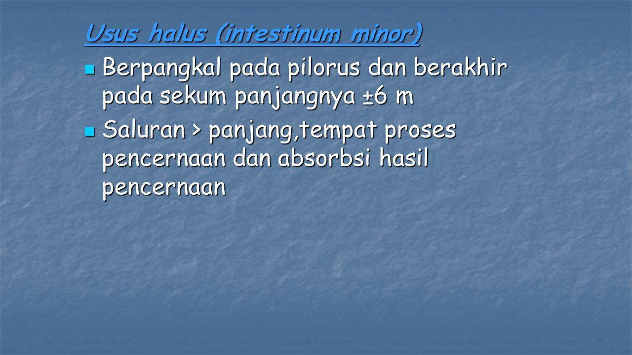 Usus halus (intestinum minor) Berpangkal pada pilorus dan berakhir pada sekum panjangnya ±6 m Berpangkal pada pilorus dan berakhir pada sekum panjangn