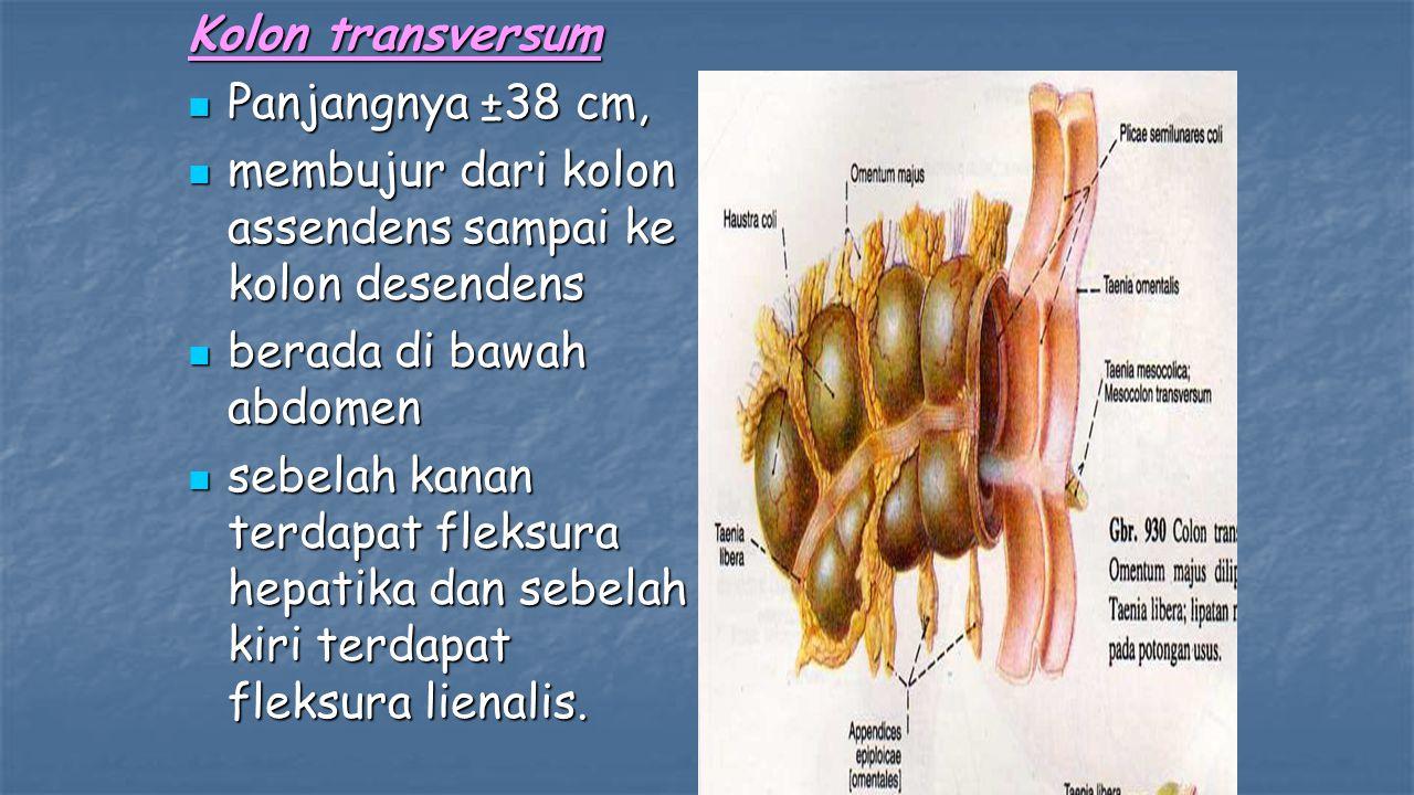 Kolon transversum Panjangnya ±38 cm, Panjangnya ±38 cm, membujur dari kolon assendens sampai ke kolon desendens membujur dari kolon assendens sampai ke kolon desendens berada di bawah abdomen berada di bawah abdomen sebelah kanan terdapat fleksura hepatika dan sebelah kiri terdapat fleksura lienalis.
