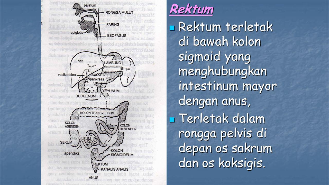 Rektum Rektum terletak di bawah kolon sigmoid yang menghubungkan intestinum mayor dengan anus, Rektum terletak di bawah kolon sigmoid yang menghubungkan intestinum mayor dengan anus, Terletak dalam rongga pelvis di depan os sakrum dan os koksigis.