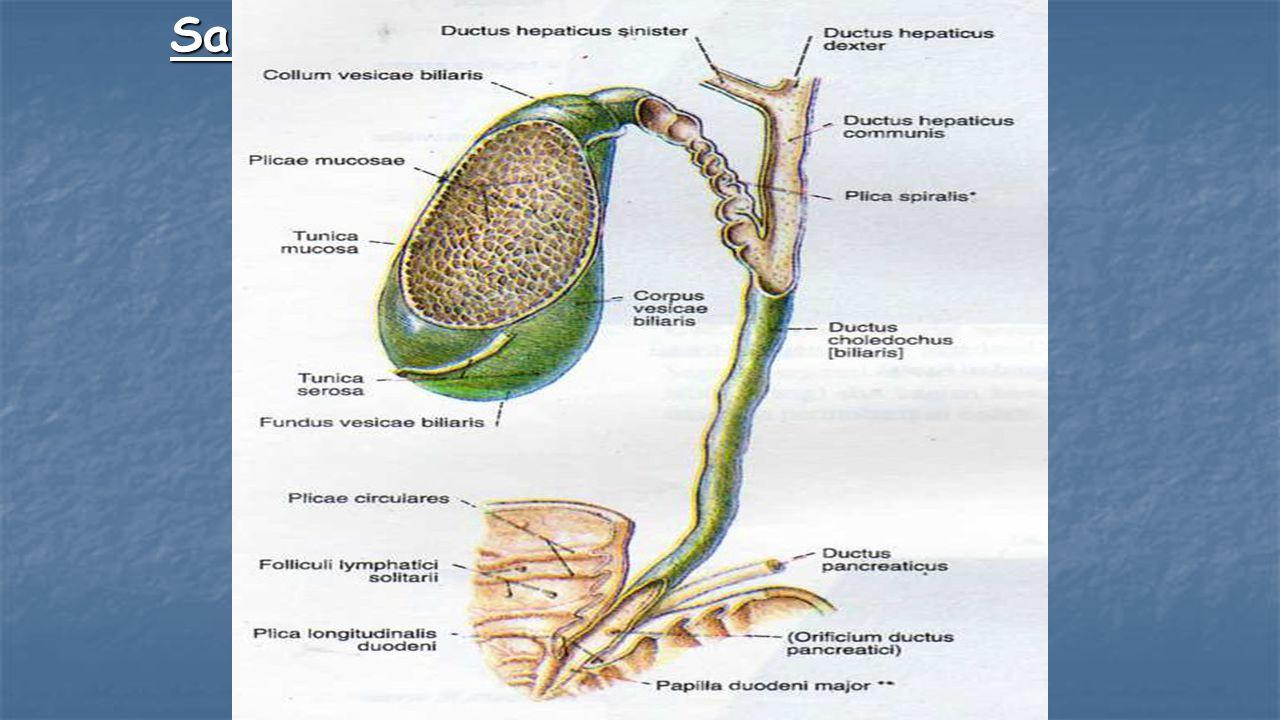 Saluran empedu dan pankreas