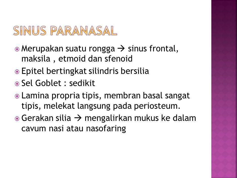  Merupakan suatu rongga  sinus frontal, maksila, etmoid dan sfenoid  Epitel bertingkat silindris bersilia  Sel Goblet : sedikit  Lamina propria tipis, membran basal sangat tipis, melekat langsung pada periosteum.