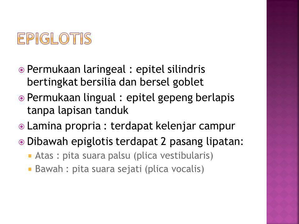  Permukaan laringeal : epitel silindris bertingkat bersilia dan bersel goblet  Permukaan lingual : epitel gepeng berlapis tanpa lapisan tanduk  Lam