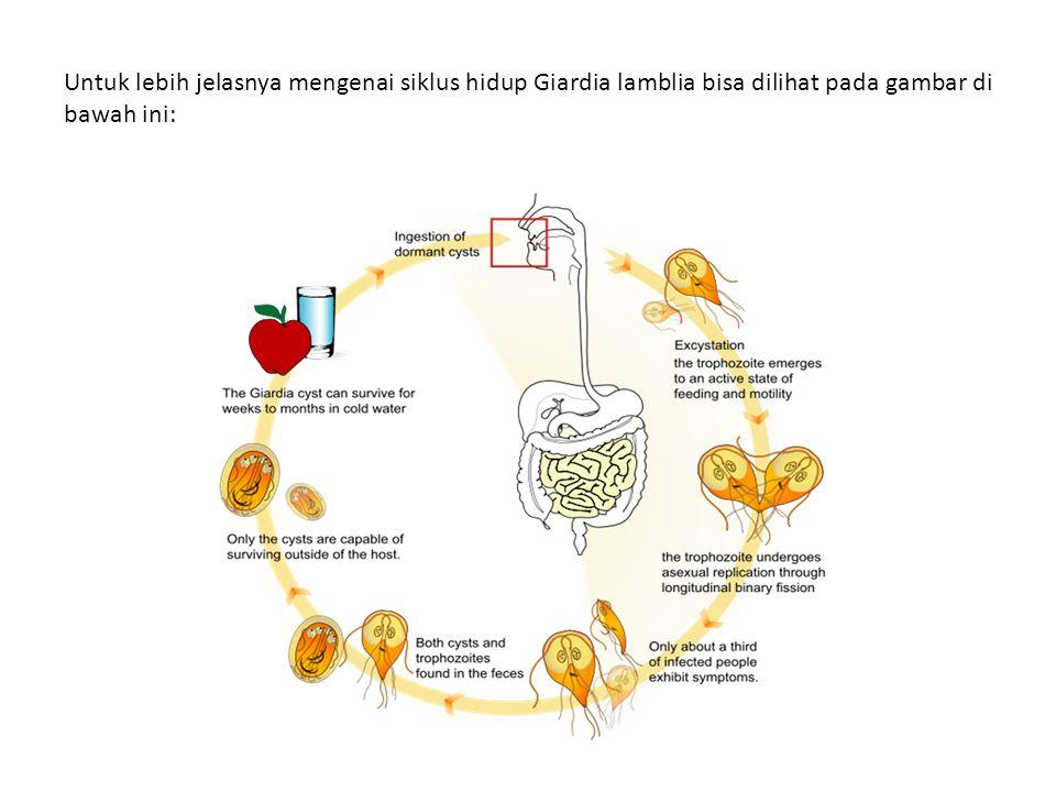 Untuk lebih jelasnya mengenai siklus hidup Giardia lamblia bisa dilihat pada gambar di bawah ini: