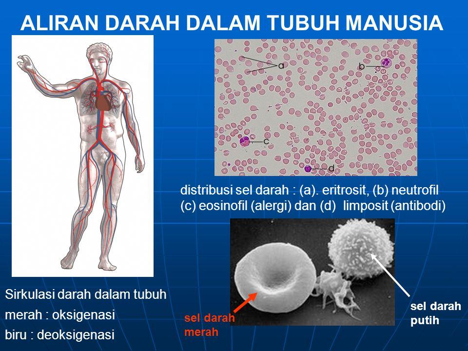 ALIRAN DARAH DALAM TUBUH MANUSIA Sirkulasi darah dalam tubuh merah : oksigenasi biru : deoksigenasi distribusi sel darah : (a). eritrosit, (b) neutrof