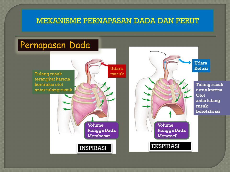 Pernapasan Perut Udara masuk Otot Diafragma Kontraksi, diafragma mendatar Volume Rongga Dada Membesar INSPIRASI Udara Keluar Otot Diafragma Relaksasi, Otot Perut Kontraksi, Diafragma melengkung ke rongga dada.
