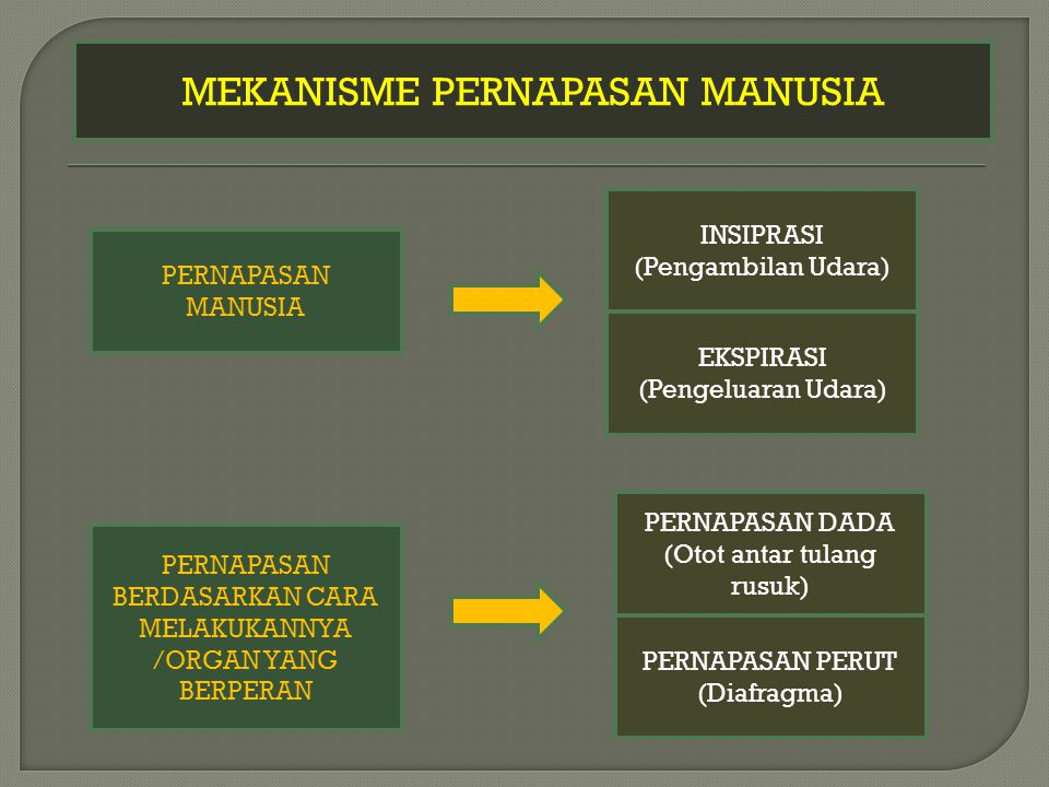MEKANISME PERNAPASAN MANUSIA PERNAPASAN MANUSIA EKSPIRASI (Pengeluaran Udara) INSIPRASI (Pengambilan Udara) PERNAPASAN BERDASARKAN CARA MELAKUKANNYA /ORGAN YANG BERPERAN PERNAPASAN DADA (Otot antar tulang rusuk) PERNAPASAN PERUT (Diafragma)