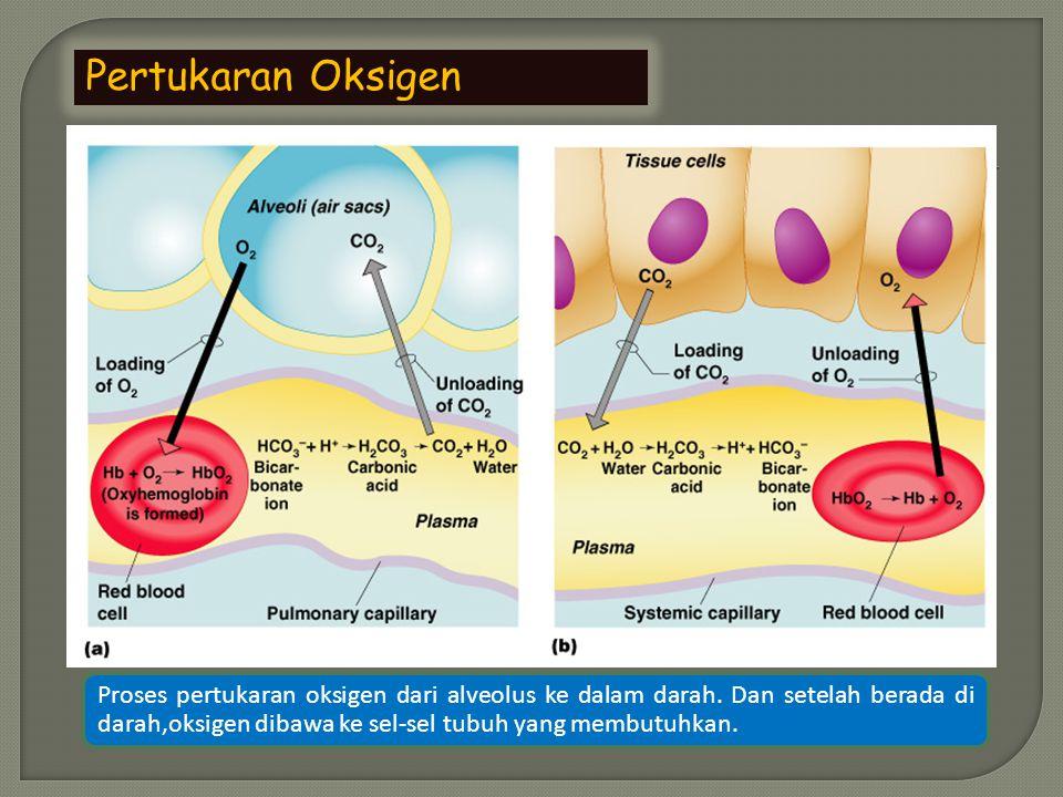 Pertukaran Oksigen Proses pertukaran oksigen dari alveolus ke dalam darah.