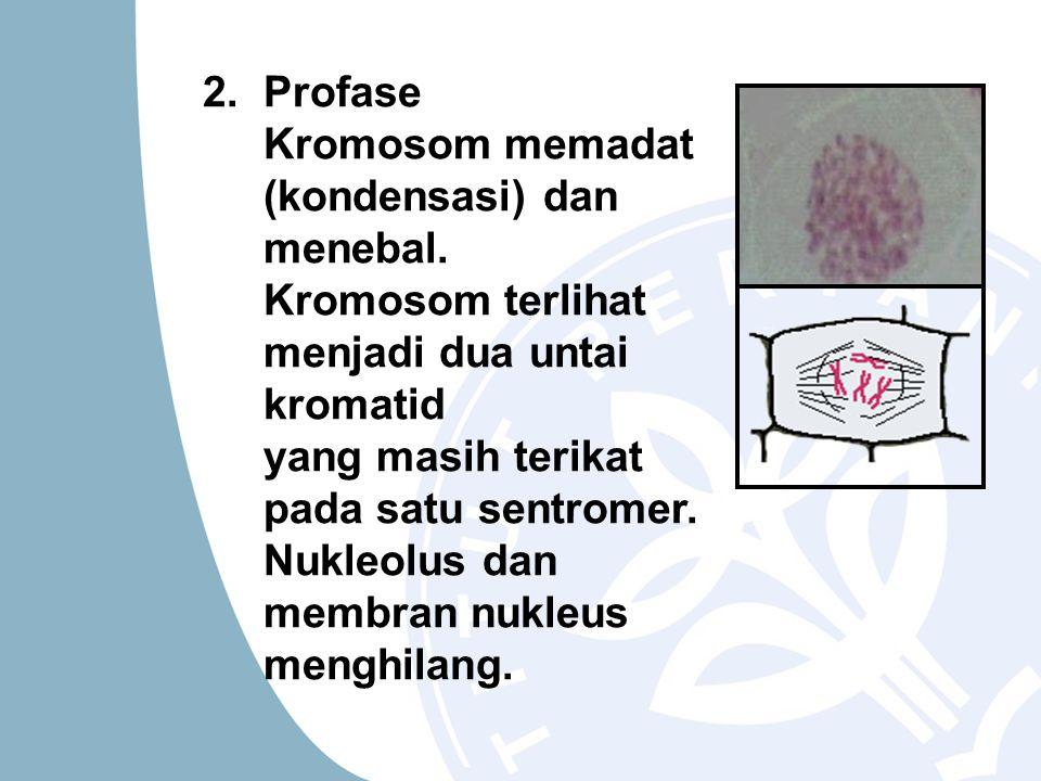 2. Profase Kromosom memadat (kondensasi) dan menebal. Kromosom terlihat menjadi dua untai kromatid yang masih terikat pada satu sentromer. Nukleolus d