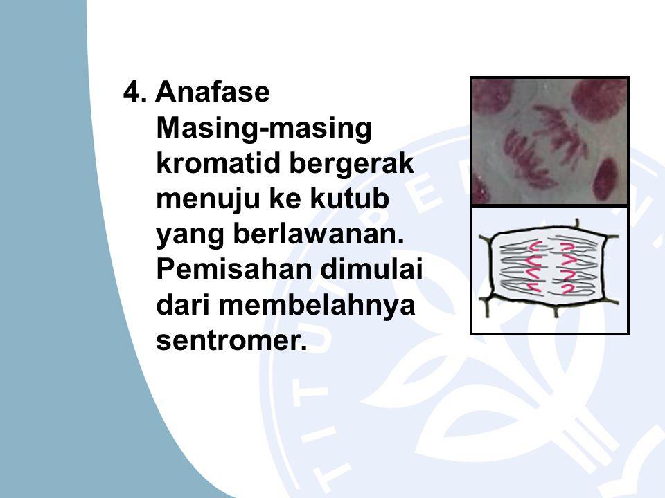 4. Anafase Masing-masing kromatid bergerak menuju ke kutub yang berlawanan. Pemisahan dimulai dari membelahnya sentromer.