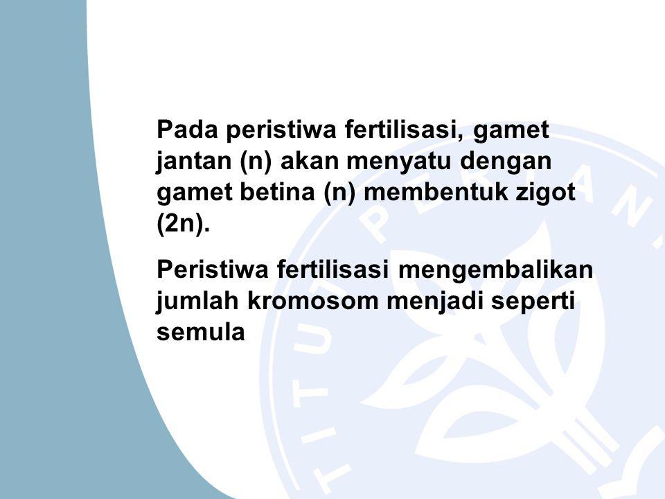 Pada peristiwa fertilisasi, gamet jantan (n) akan menyatu dengan gamet betina (n) membentuk zigot (2n).