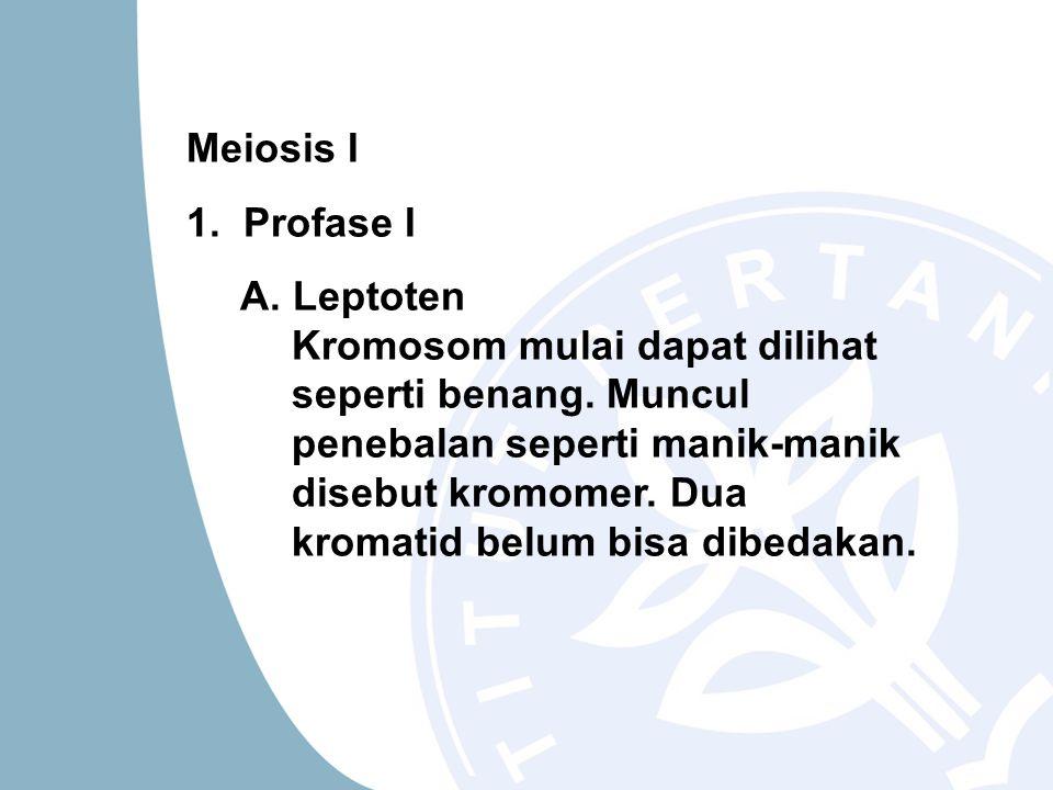 Meiosis I 1. Profase I A. Leptoten Kromosom mulai dapat dilihat seperti benang. Muncul penebalan seperti manik-manik disebut kromomer. Dua kromatid be