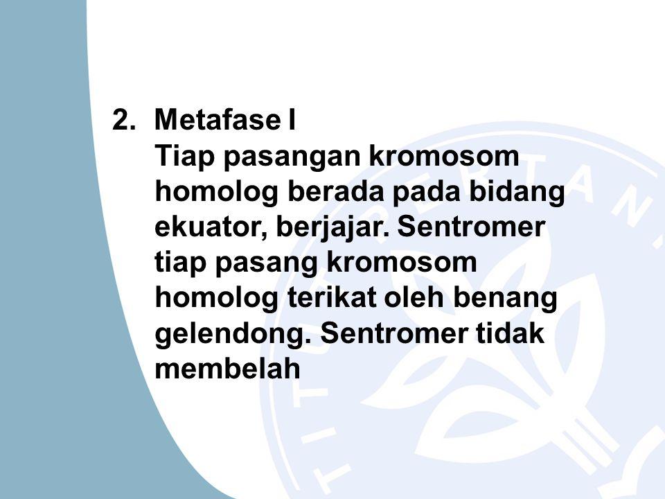 2. Metafase I Tiap pasangan kromosom homolog berada pada bidang ekuator, berjajar. Sentromer tiap pasang kromosom homolog terikat oleh benang gelendon