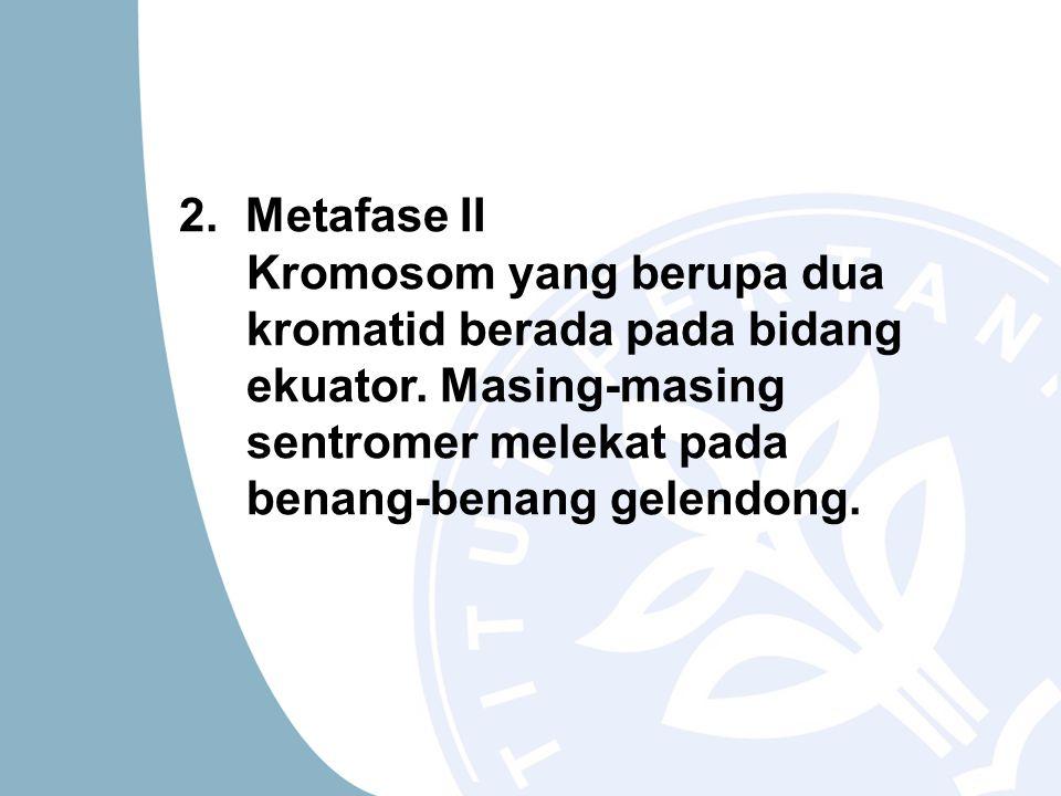 2. Metafase II Kromosom yang berupa dua kromatid berada pada bidang ekuator. Masing-masing sentromer melekat pada benang-benang gelendong.