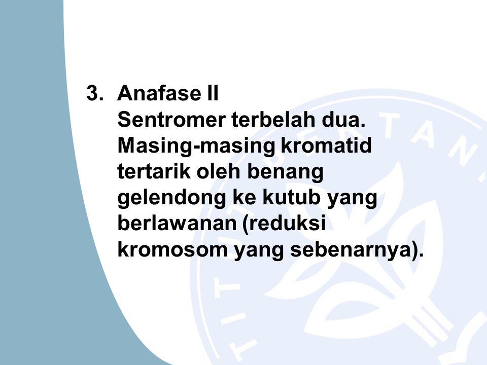 3.Anafase II Sentromer terbelah dua. Masing-masing kromatid tertarik oleh benang gelendong ke kutub yang berlawanan (reduksi kromosom yang sebenarnya)