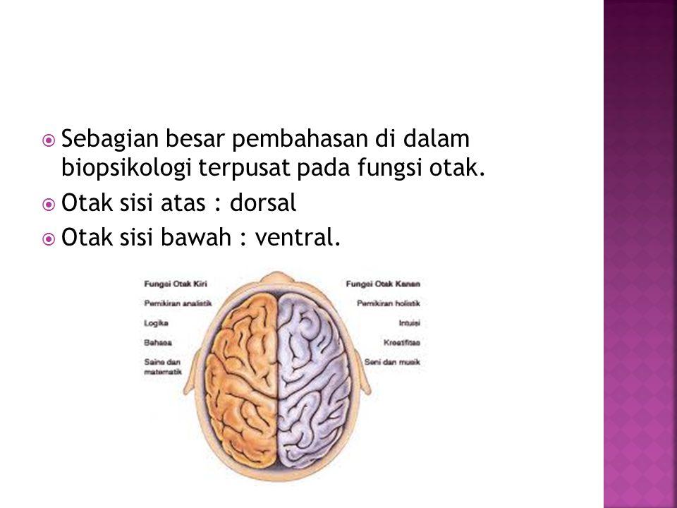  Sebagian besar pembahasan di dalam biopsikologi terpusat pada fungsi otak.  Otak sisi atas : dorsal  Otak sisi bawah : ventral.