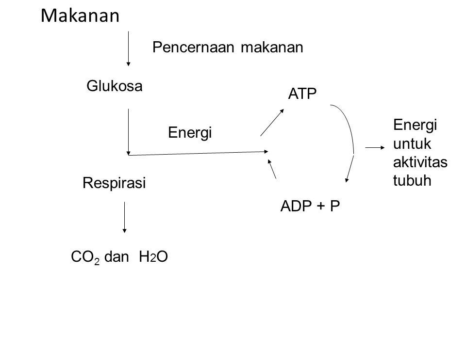 Makanan Glukosa Respirasi Pencernaan makanan Energi ATP ADP + P CO 2 dan H 2 O Energi untuk aktivitas tubuh