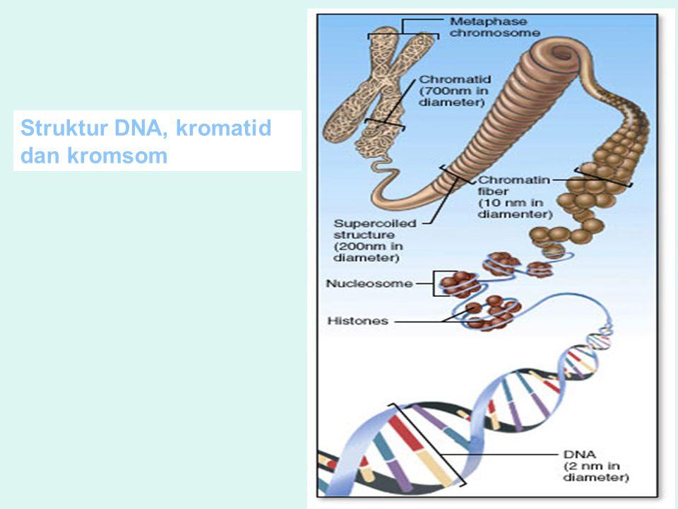 Struktur DNA, kromatid dan kromsom