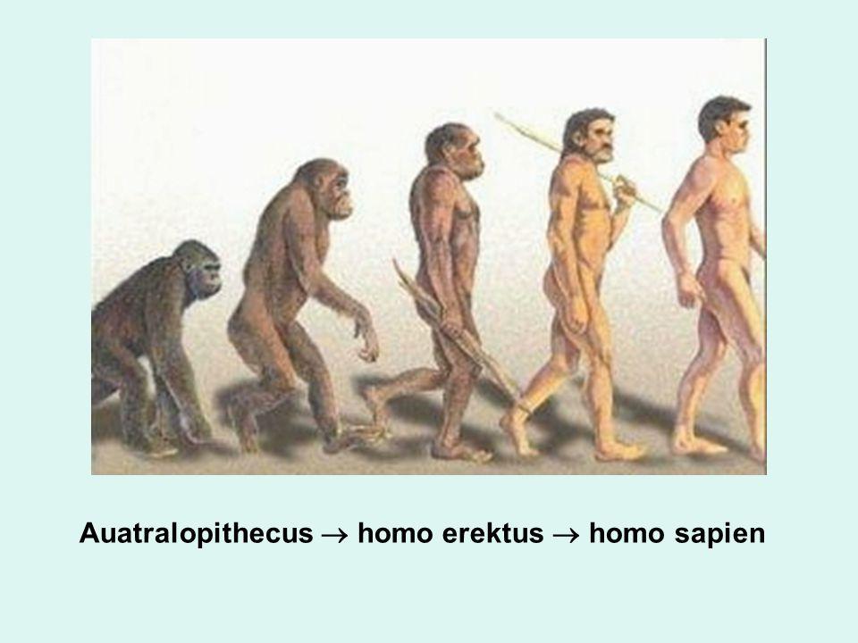 Auatralopithecus  homo erektus  homo sapien