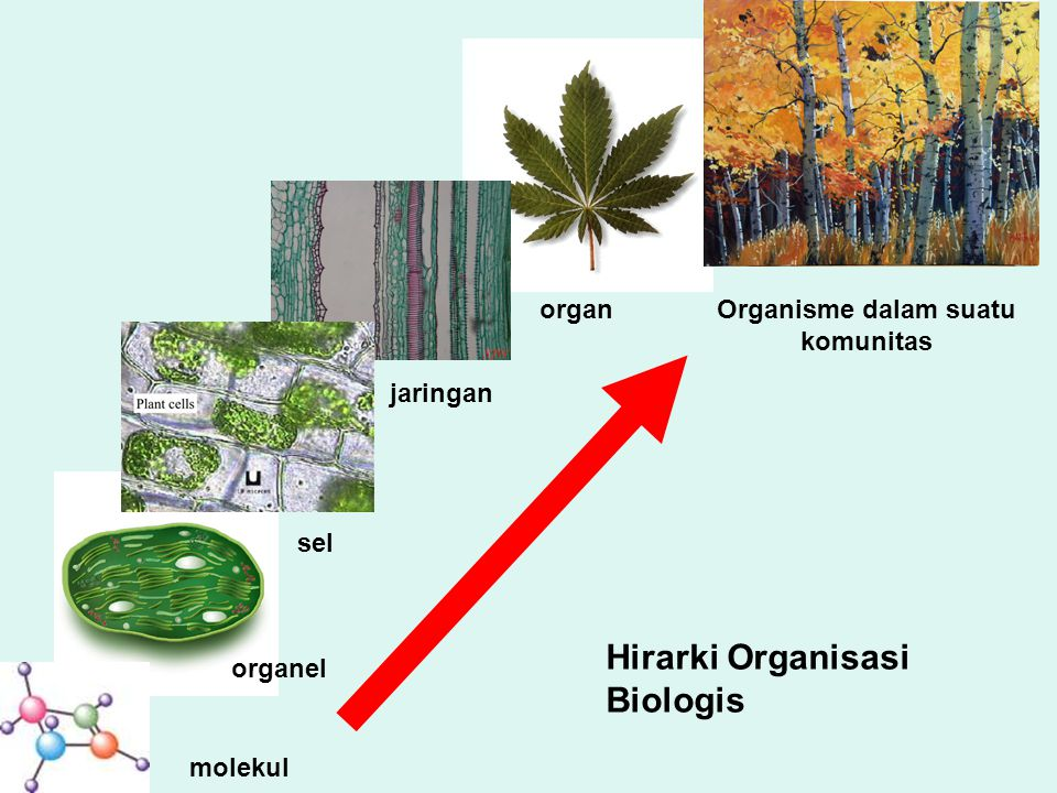 Hirarki Organisasi Biologis molekul organel sel jaringan organOrganisme dalam suatu komunitas
