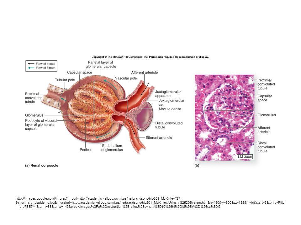 http://images.google.co.id/imgres?imgurl=http://academic.kellogg.cc.mi.us/herbrandsonc/bio201_McKinley/f27- 9a_urinary_bladder_c.jpg&imgrefurl=http://