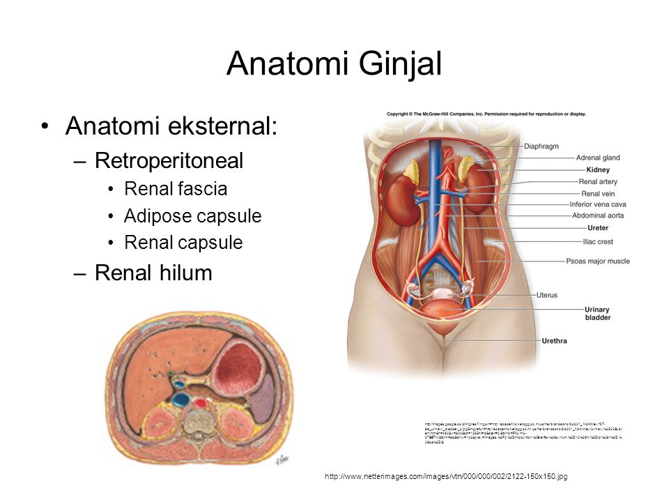Anatomi Ginjal Anatomi eksternal: –Retroperitoneal Renal fascia Adipose capsule Renal capsule –Renal hilum http://www.netterimages.com/images/vtn/000/