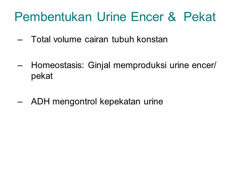 Pembentukan Urine Encer & Pekat –Total volume cairan tubuh konstan –Homeostasis: Ginjal memproduksi urine encer/ pekat –ADH mengontrol kepekatan urine