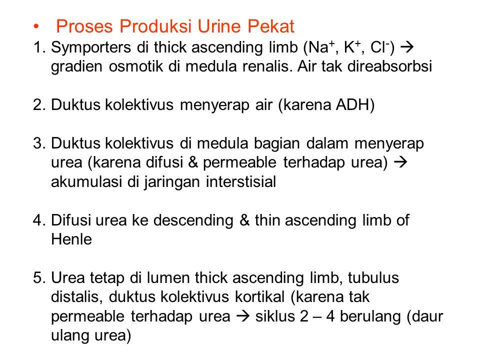 Proses Produksi Urine Pekat 1.Symporters di thick ascending limb (Na +, K +, Cl - )  gradien osmotik di medula renalis. Air tak direabsorbsi 2.Duktus