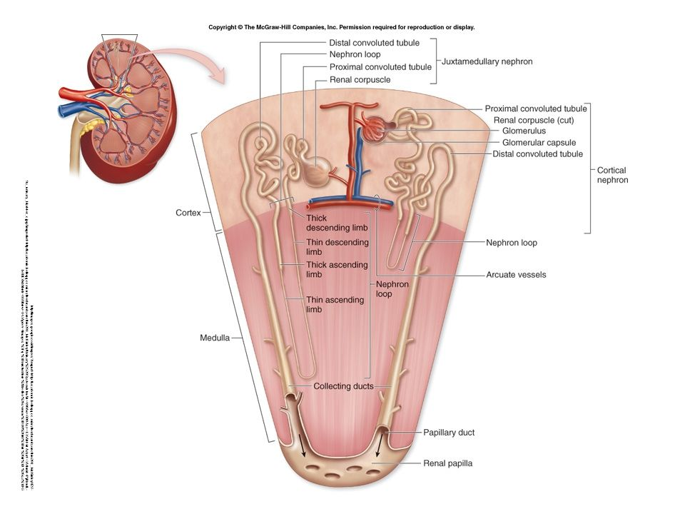 Karakteristik Urine Normal Volume: 1 – 2 liter per hari Warna: Kuning atau kuning sawo/ kuning gading (amber), karena urokrom (hasil pemecahan pigmen empedu) dan urobilin (hasil pemecahan hemoglobin).