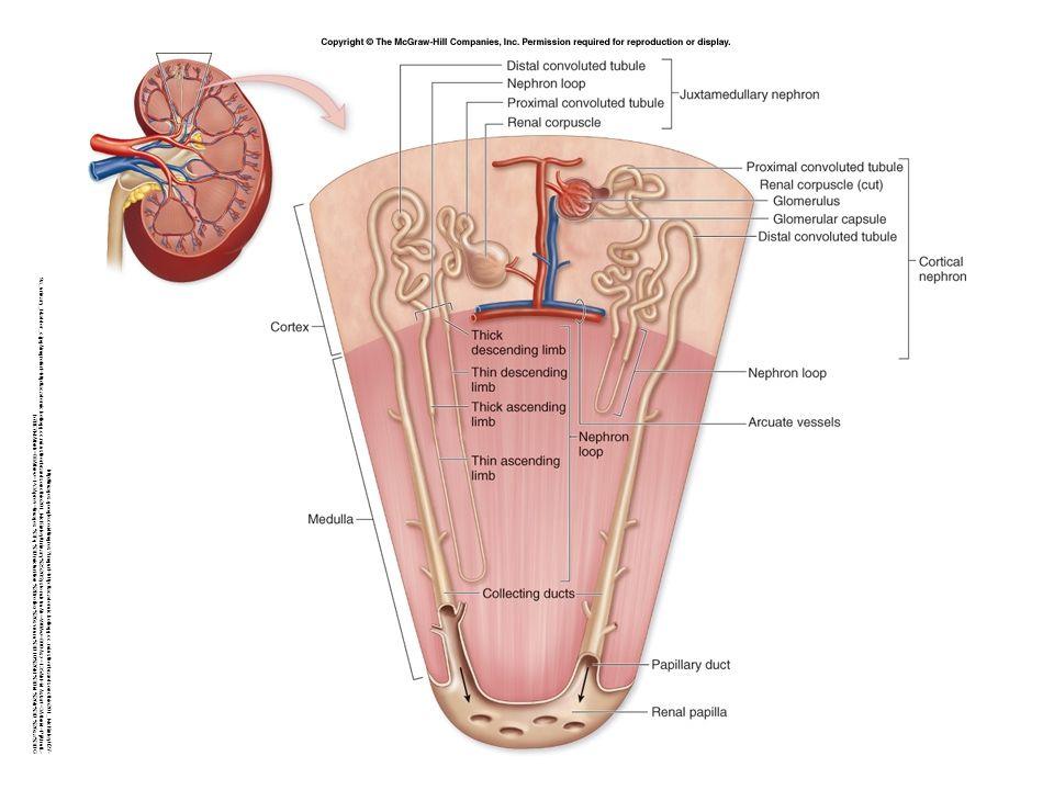 Nephron: 1.Renal corpuscle : a. Glomerulus b. Bowman's capsule 2.