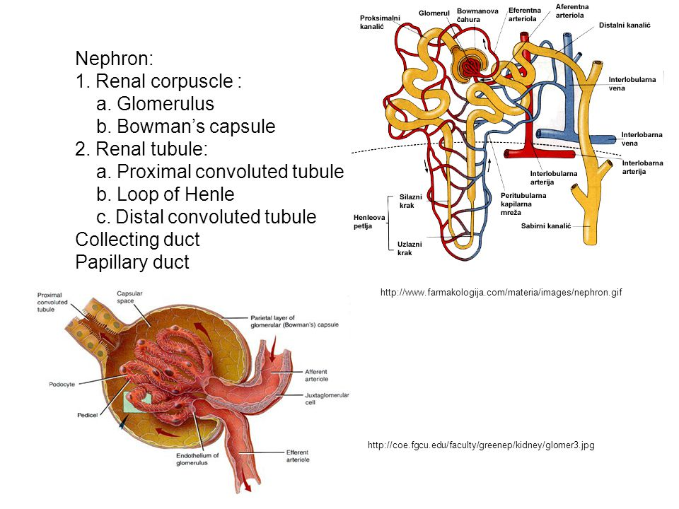 Nephron: 1. Renal corpuscle : a. Glomerulus b. Bowman's capsule 2. Renal tubule: a. Proximal convoluted tubule b. Loop of Henle c. Distal convoluted t