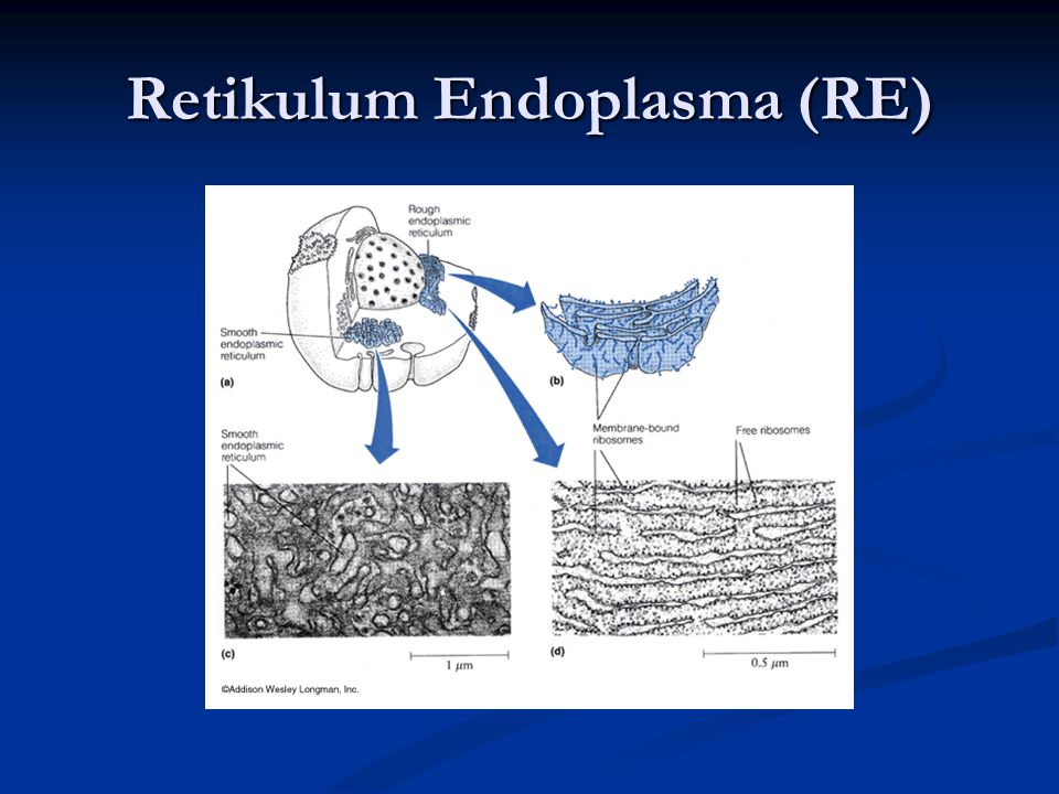 Retikulum Endoplasma (RE)
