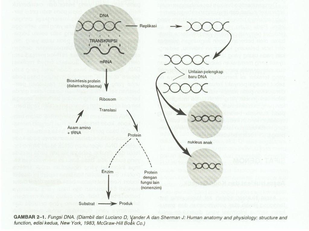 Aspek klinis kelainan kongenital dan penyakit keturunan ppt download 11 gen dan kromosom pada sel sel yang tidak membelah dna ditemukan hampir di seluruh bagian dalam nukleus sewaktu sel mulai membelah bahan tersebut mulai ccuart Choice Image