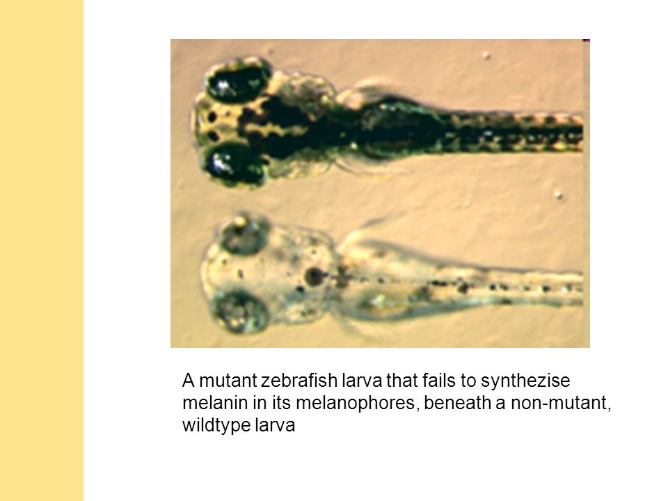 A mutant zebrafish larva that fails to synthezise melanin in its melanophores, beneath a non-mutant, wildtype larva