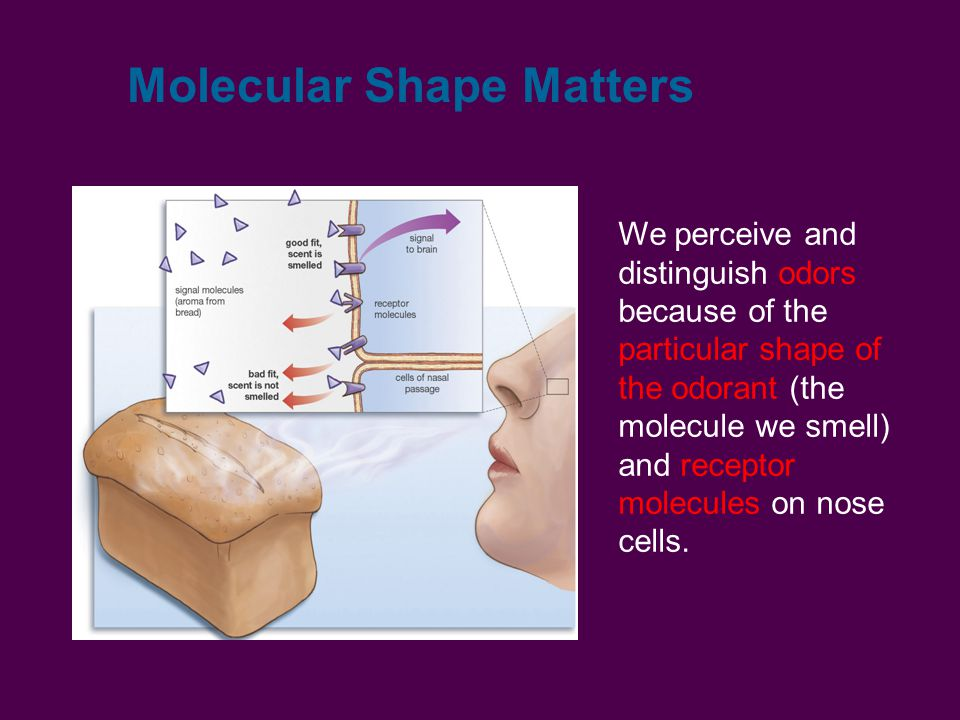 Molecular Shape Matters We perceive and distinguish odors because of the particular shape of the odorant (the molecule we smell) and receptor molecules on nose cells.