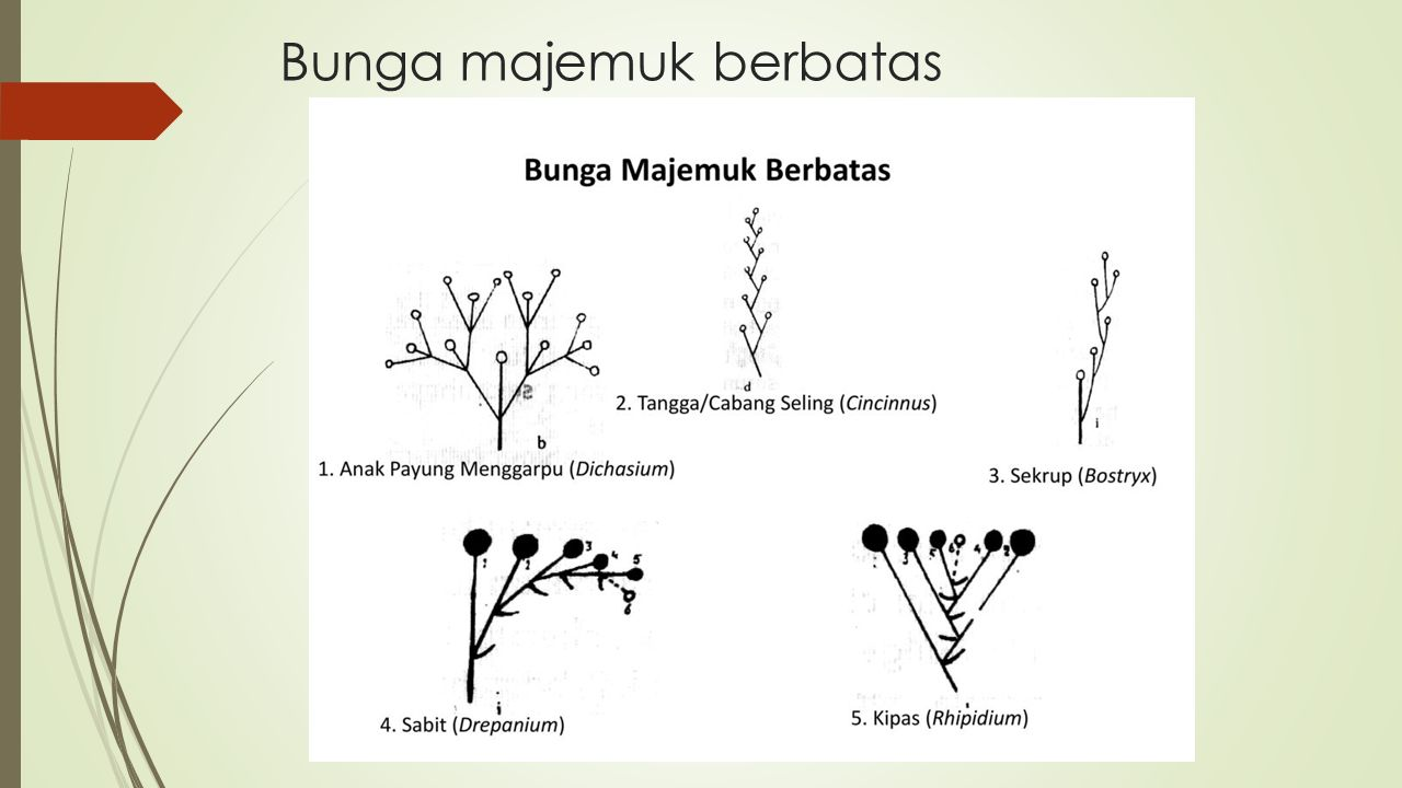 Bunga Majemuk Anthotaxis Inflorescentia Kelompok Lima Wahyu Yulis Gitasyia Afriska Yoka Parista Hafshah Mentari Zurisah Ppt Download